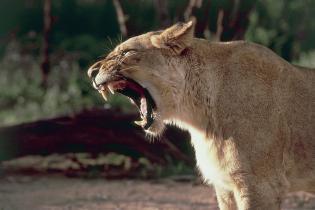 Close-up of a lion roaring (Panthera leo)