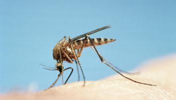 Mosquito (Culicidae sp) feeding, close-up