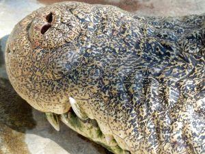 Close-Up Of Crocodile